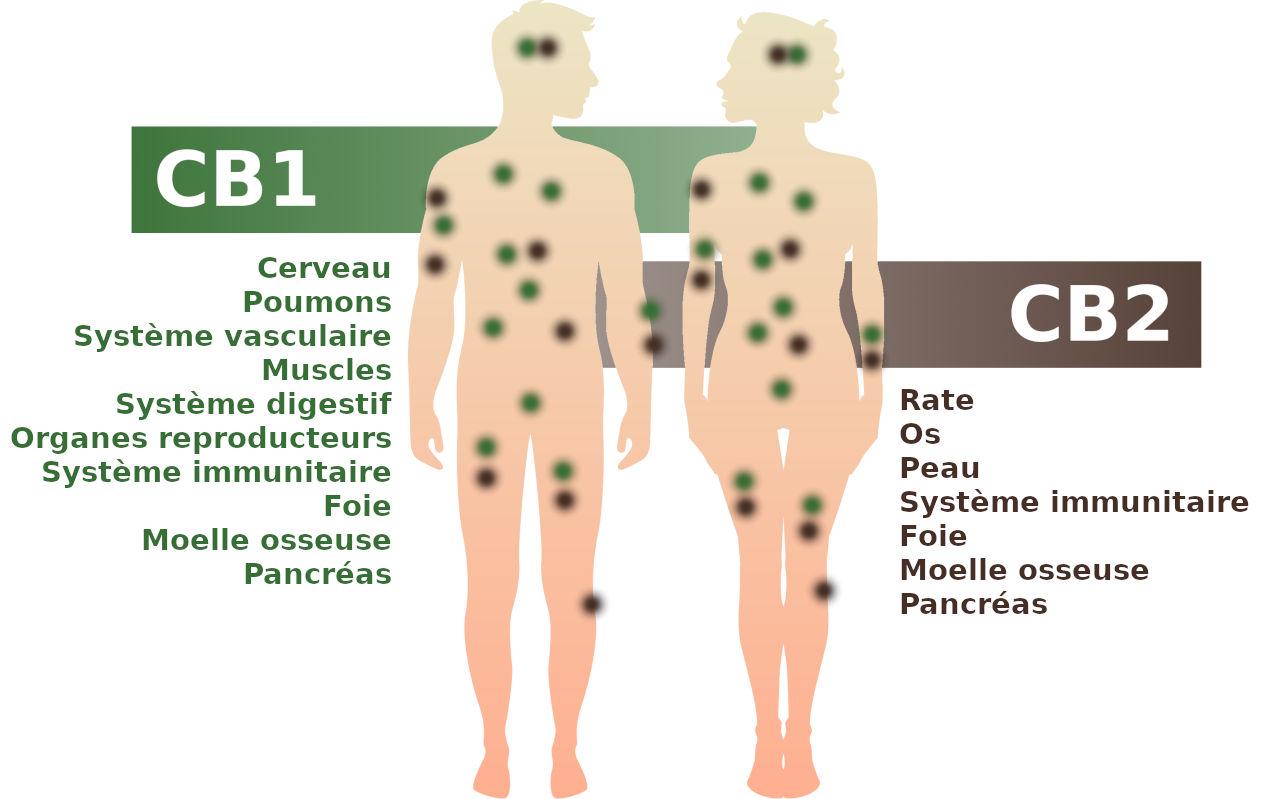 Le système endocannabinoïde et ses récepteurs C1 et C2 dans l'organisme humain